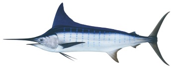 Striped marlin (Tetrapterus audax)