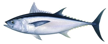 Thunnus tonggol